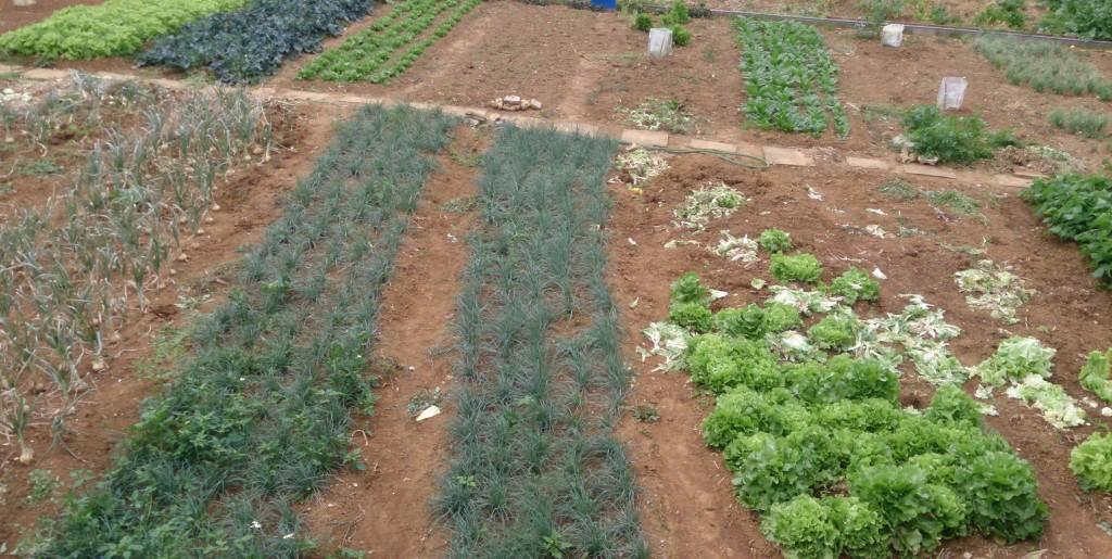 野菜の栽培畑の写真